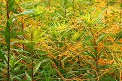 Tremer a planta da pradaria de Illinois imagem de stock royalty free