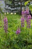 Tremoceiros roxos no jardim Foto de Stock Royalty Free