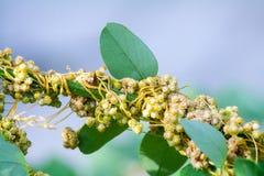 Tremoli il genere cuscuta è piante parassite Immagini Stock
