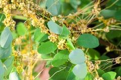 Tremoli il genere cuscuta è piante parassite Fotografie Stock Libere da Diritti
