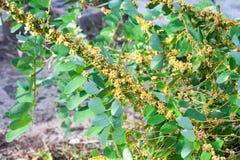 Tremoli il genere cuscuta è piante parassite Fotografia Stock Libera da Diritti