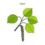 Tremula της Aspen Populus Στοκ Εικόνες