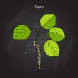 Tremula της Aspen Populus Στοκ εικόνες με δικαίωμα ελεύθερης χρήσης