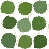 Tremula delle foglie verdi Immagine Stock