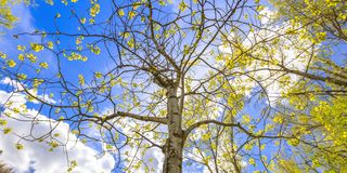Tremula di tremito contro cielo blu luminoso con le nuvole fotografia stock