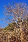 Tremula di tremito senza foglie sull'orlo dell'abetaia, fondo di cielo blu luminoso fotografie stock