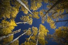 Tremula di tremito variopinta dell'Arizona in autunno immagine stock