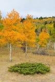 Tremula dorata e verde nella stagione di caduta Fotografia Stock