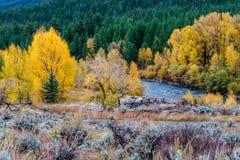 Tremule di caduta lungo un fiume del Wyoming Immagine Stock