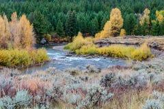Tremule di caduta lungo un fiume del Wyoming Fotografie Stock