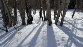 Tremule di Snowy Fotografia Stock Libera da Diritti