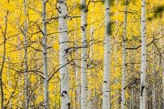 Tremule di tremito bianche nella caduta con le foglie gialle luminose fotografia stock libera da diritti