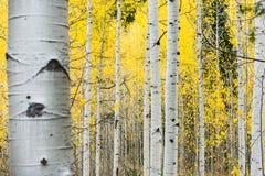 Tremule di tremito bianche nella caduta con le foglie gialle luminose fotografie stock libere da diritti