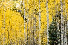 Tremule di tremito bianche nella caduta con le foglie gialle luminose immagini stock
