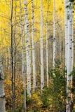 Tremule di tremito bianche nella caduta con le foglie gialle luminose immagini stock libere da diritti