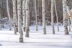 Tremule di tremito contro neve soleggiata in Park City immagini stock libere da diritti