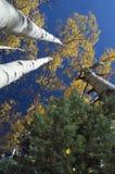 Tremule di tremito ed albero di pino, albero per bandiera, Arizona fotografie stock libere da diritti