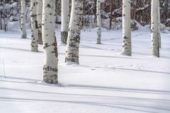 Tremule di tremito su terra nevosa in Park City Utah fotografia stock