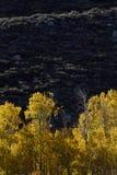 Tremule nella foresta nazionale di Inyo, sierra Nevada Range, California Fotografia Stock Libera da Diritti