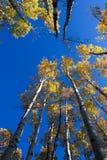 Tremuloides de Populus de trembles de tremblement changeant la couleur en automne, hampe de drapeaux, Arizona photo stock
