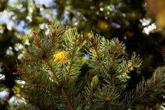 Tremuloides del Populus de los álamos tembloses de temblor que cambian el color en la caída, asta de bandera, Arizona Foto de archivo