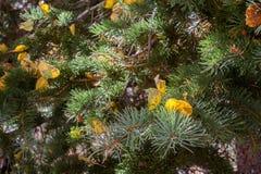 Tremuloides del Populus de los álamos tembloses de temblor que cambian el color en la caída, asta de bandera, Arizona Fotos de archivo