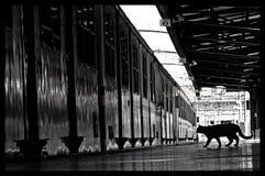 tren blanco y negro del gato Foto de archivo libre de regalías