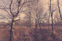 Tren del bosque con los árboles de abedul Imagen de archivo