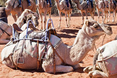 Tren del camello Fotografía de archivo libre de regalías