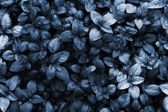 Trend color 2020 classic blue, top view, layout for design. Beautiful natural background with basil leaves in blue trendy color