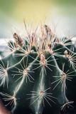 Trendy cactus on window sill, macro shot stock photo