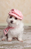 Trendy cute dog. A cute little dog wearing trendy country style fashion, sits on a distressed wooden floor Royalty Free Stock Photography