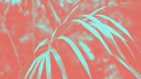 Trendy design, nature and background concept - close up of living coral and blue duotone palm tree leaves stock image