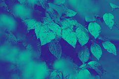 Trendy design, nature and background concept: close up of ultra violet and blue duotone tree leaves. Duotone neon effect. royalty free illustration