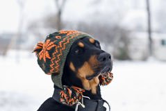 Trendy dog Royalty Free Stock Photos