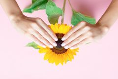 Trendy female manicure. Stylish trendy female manicure. Beautiful young woman`s hands on pink background with sunflower. Manicure concept stock photos