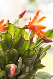 Trendy succulent plant close up or macro shot stock image