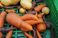 Trendy ugly misshapen root vegetable Royalty Free Stock Photo