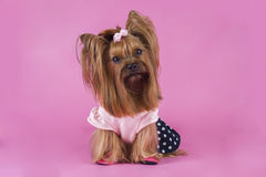 Trendy yorkshersky terrier on a pink background Stock Photography