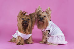 Trendy yorkshersky terrier on a pink background Royalty Free Stock Image