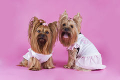 Trendy yorkshersky terrier on a pink background Royalty Free Stock Photography