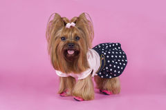 Trendy yorkshersky terrier on a pink background Royalty Free Stock Photo