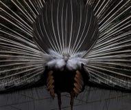 Treno del pavone su esposizione Fotografia Stock