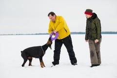 Trenować i bawić się z psów Dobermans na śnieżnym polu Obrazy Royalty Free