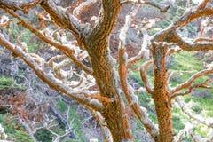 Trentepohlia на кипарисах на запасе государства Lobos пункта стоковые изображения