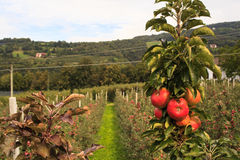 Trentino apples Stock Photos