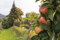 Trentino apples Stock Images