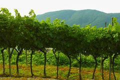 Trentino vineyards, Italy Royalty Free Stock Images