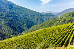Trentino vineyards, Italy. Trentino vineyards in the summer, Italy stock images