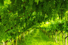 Trentino vineyards, Italy Stock Photos